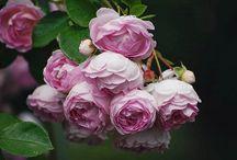 Roses we love