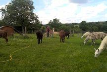 Llamas at Border Llamas