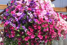 floral hanging baskets / by Cheryl Yacovoni
