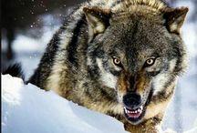 wolves+citates
