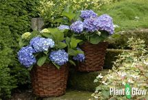 Sierheesters / In dit bord vind je een greep uit het sierheesters assortiment van tuinplanten webwinkel, Plant & Grow