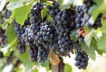 ВИНОГРАД В СРЕДНЕЙ ПОЛОСЕ / Виноград - выращивание в средней полосе. Сорта, посадка, уход, размножение, подготовка к зимовке, обрезка