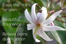Jasmine / Information about the uses & benefits of Jasmine.