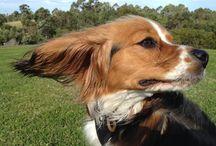 Beaglier - cute photos / (Beagle X Cavalier King Charles Spaniel) Other names: Beagalier, Beagelier
