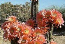Kaktus - Sukulenter