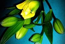 Flower: Lilies