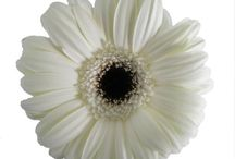 As Flores