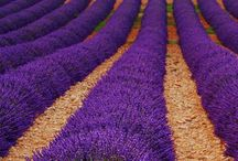 Simply Lavander / Beautiful Lavender Fields around the world