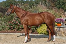 Obourg / 1998 Stallion by Richebourg x Oberon Du Moulin x Joyau Standing at Stud Approved Elite BWP Owned by Flintwoode Farm