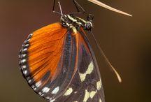 butterflies, insects, bugs, beetles / Szárnyatlan rovarok (Apterygota) Szárnyas rovarok (Pterygota)