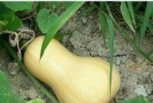 버터넛호박(Butternut Squash) / 버터넛호박에 대한 재배일기