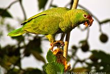 Birding Panama / Information regarding birding and birdwatching in Panama.