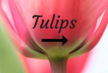 Tulips / Read the latest updates from the Tulips in Holland blog and social media. Find more on: www.tulipsinholland.com