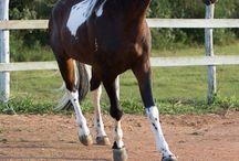 Le cheval et l'hippologie / Si l'on veut bien s'occuper d'un cheval, il faut impérativement connaître ses caractéristiques physiques, psychologiques et la manière qu'il a d'évoluer dans son environnement.