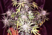 Strain: Nashira / A new autoflowering cannabis strain by NW