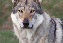 Czechoslovakian Wolfdog ♡♡♡