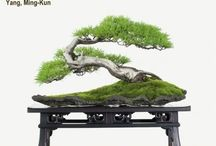 Bonsai Marcelo