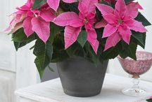 Perfectly Pink Christmas / Dress your home for the holidays with pink accents. Start with our pretty-in-pink Princettias and style from there.  See our full collection of Princettias here: http://suntoryflowers.com/flower_brand/princettia/ / by Suntory Flowers