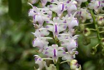 Himalayan Orchids