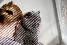British Shorthair cats - Males / British Shorthair sirs http://www.starfall.lt/cats/#males