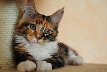 Umaszczenie kotów / Wszystko o umaszczeniu kotów