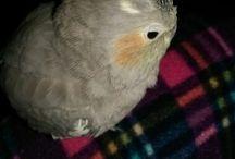 sultan papağan