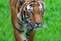 Tigri♡