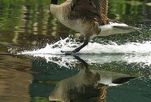 geese ducks
