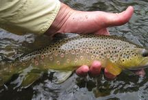 Fly Fishing / Pictures of Fly fishing and trout
