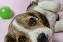 Beagle puppies / by J Biddle