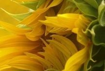 Sunflowers / by Melani Johnson