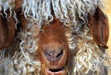 non-sheep fibre breeds