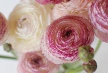 Blomster/flowers  / Sansepleie