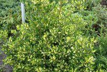 Mariedal garageuppfarten / Vintergrön uppfart. Bakom stenmuren skuggas jorden och torkar inte ut, och det passar för ormbunkar. Blir lummigt och frodigt intryck med Rosenhallonens stora blad. Ingen annan plats i trädgården ser ut så. Går också att lägga till röd- och orangebladig Alunrot, som också är vintergrön. Vintergrön ormbunke som tål viss torka (Holly fern) funkar också bra i stor kruka.
