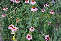 Echinacea -RS FOTO