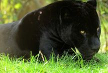 Panther Sanctuaries in India / Sanctuariesindia: Here you can get information about all Panther Sanctuaries in India.
