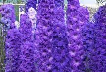 Delphiniums / Delphiniums from around the world