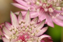 Astrantia Wedding Flowers / Creative inspiration for using Astrantia in wedding flower designs. Learn how to make bridal bouquets, wrist corsages, groom boutonnieres, reception table centerpieces and church flower decorations.  Buy wholesale fresh flowers and discount florist supplies.