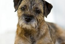 Border Terrier/Furry pets