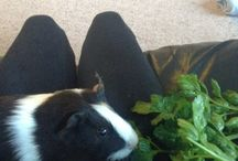 Sir Nugget / And other guinea pigs