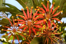 Australian Proteaceae / 