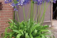 Agapanthes bleues