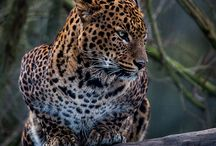 Sweet Jaguar