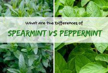 Spearmint & Peppermint