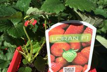 Fruit Plants / Fruit plants grown by Nedplant Nursery wholesale growers of houseplant, shrubs and groundcovers for South Africa