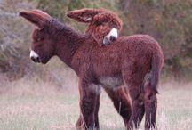 Esel und Mulis