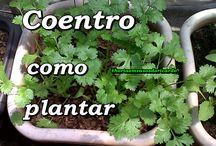 Como Plantar Coentro