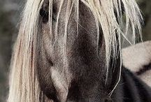 cavalli horses