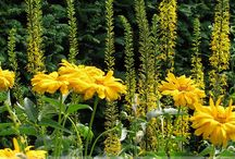 Heliopsis Combinations / Plant partnerships that include oxeyes (also known as false sunflowers)