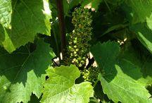 Les vignes et le vin de Vavril / La vigne et le vin à Vavril Domaine de Vavril - Beaujeu - France